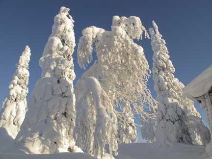 Snow trees 2.