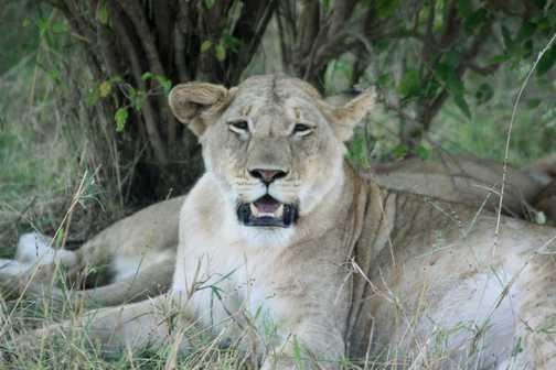Lioness in pride - Masai Mara