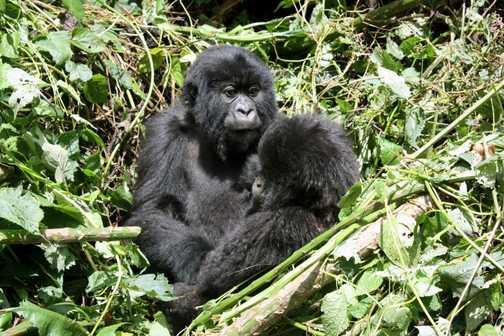 Baby gorilla - Parc National des Volcans