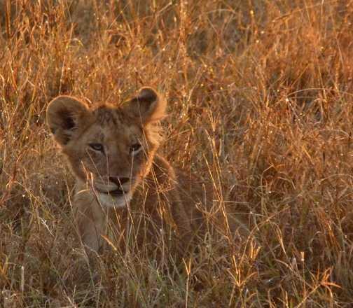 Lion cub at sunrise