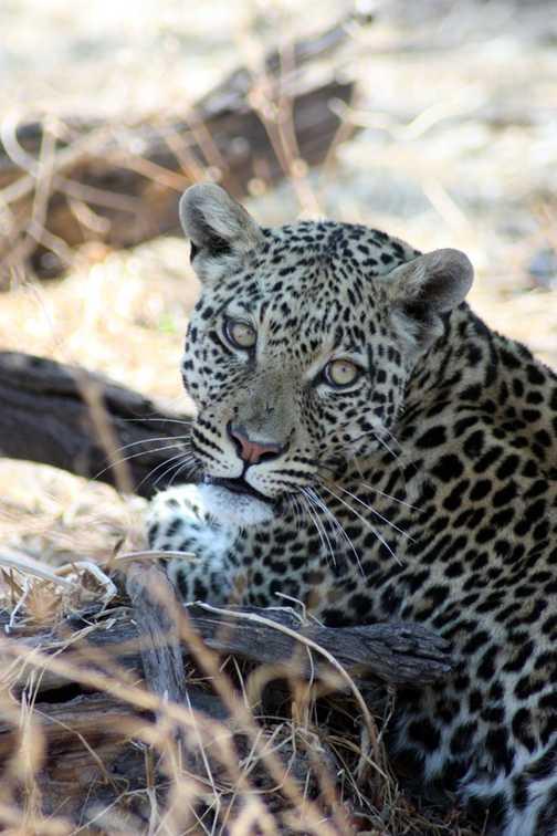 Leopard - Linyanti