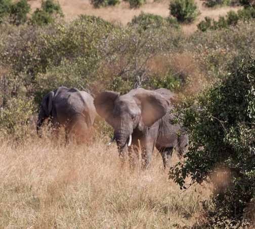 Elephants on the Mara