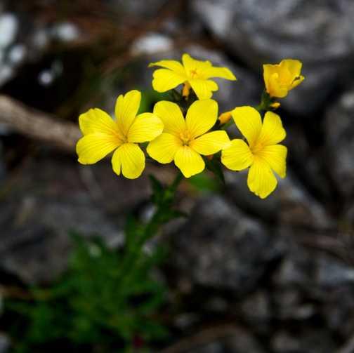 Flowers - Yellow Flax