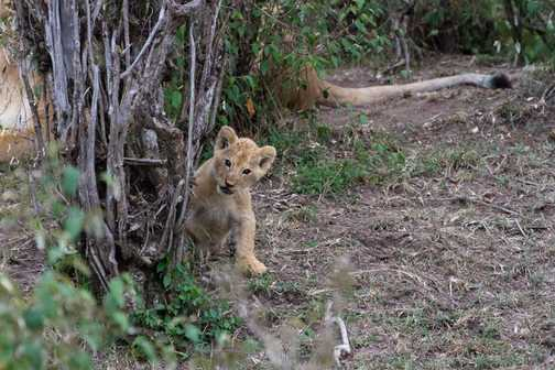 Lion cub peek-a-boo