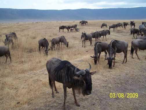 Wildebeest Ngorongoro