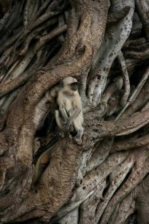 Langur monkey, Ranthambore