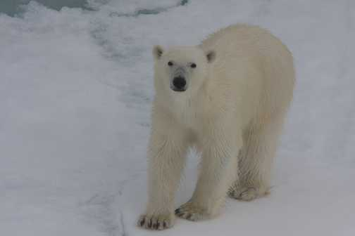 Polar Bear observing