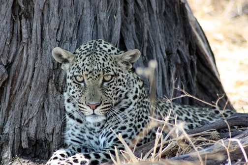 Male impala - Linyanti