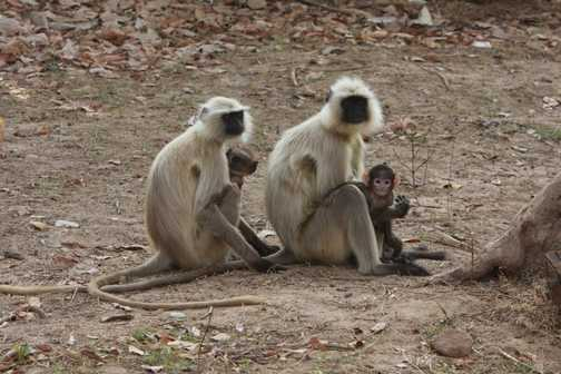 Langur Monkeys and their infants