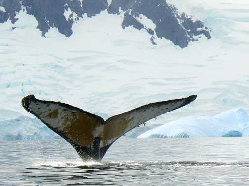 Humpback whale's tail