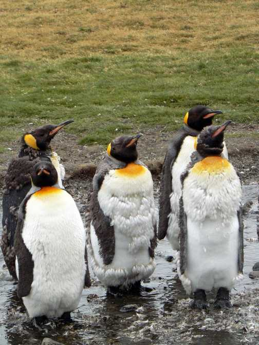 Moulting King penguins