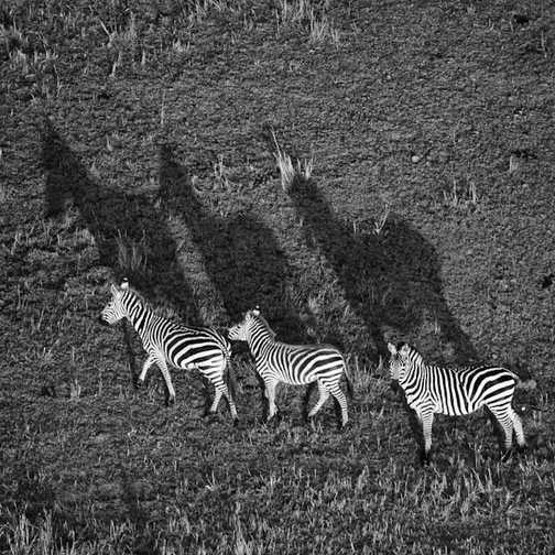 3 Zebras, Masai Mara
