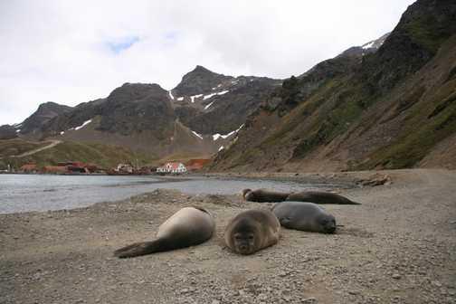 Elephant seals on South Georgia
