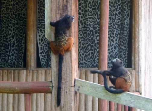 Rainforrest, Tamarind Monkeys. Explorer Inn