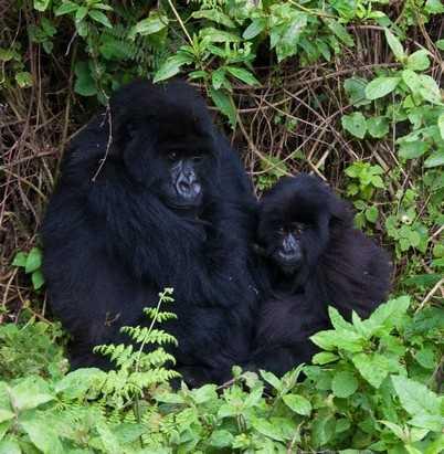 Mum and baby gorilla