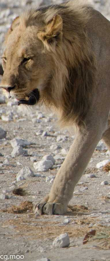 Etosha Park - greeted by the lions