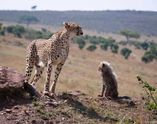 Cheetah mum with cub