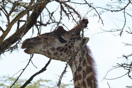 Giraffe - Walking Safari - Nakuru