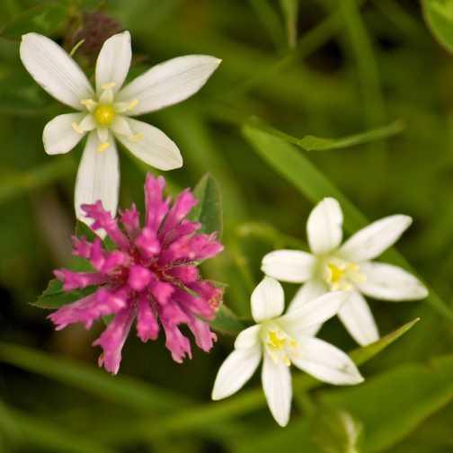 Flowers - Star of Bethlehem and Clover