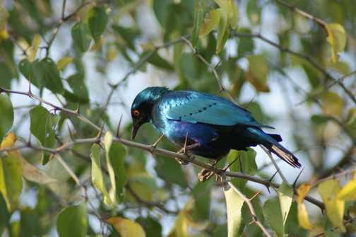 Turquoise shimmering starling
