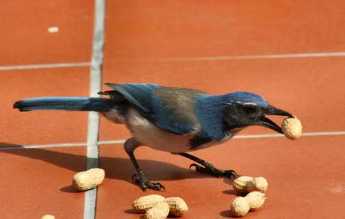 SCrub Jay in the garden