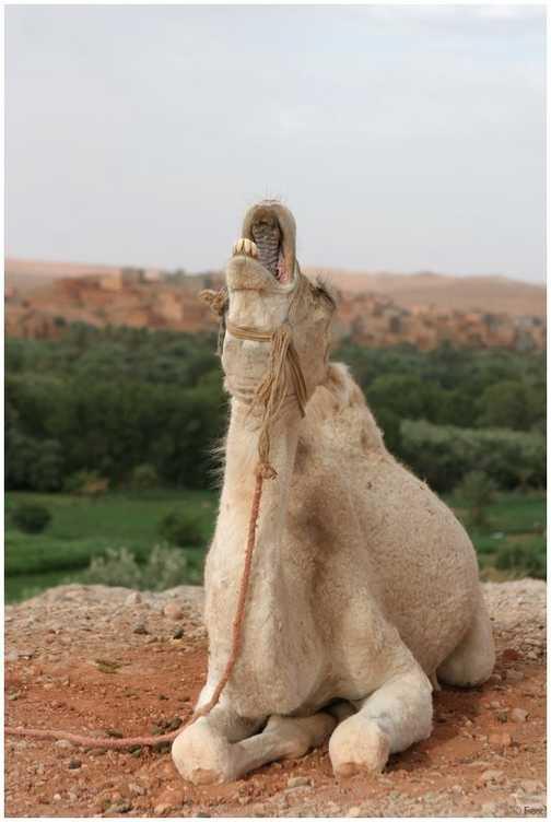 Baby-camel