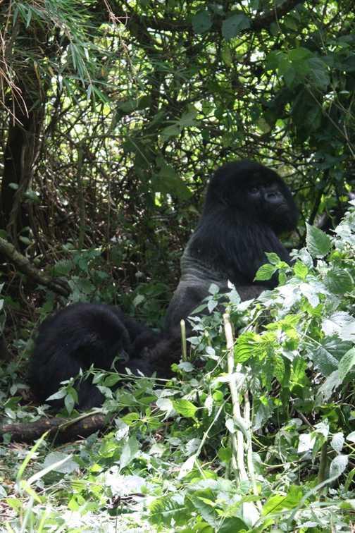 Young gorilla - Parc National des Volcans, Rwanda