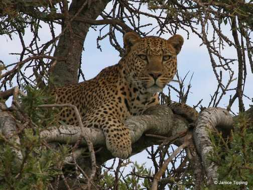Leopard's love trees