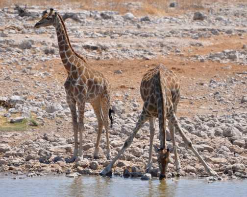Giraffe at Okaukuejo, Etosha NP