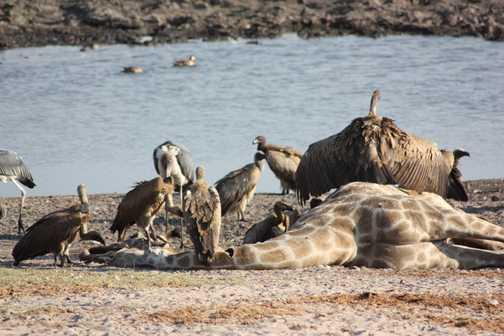 Male kudu - Chobe