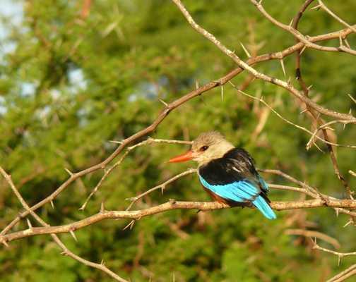 Samburu Kingfisher
