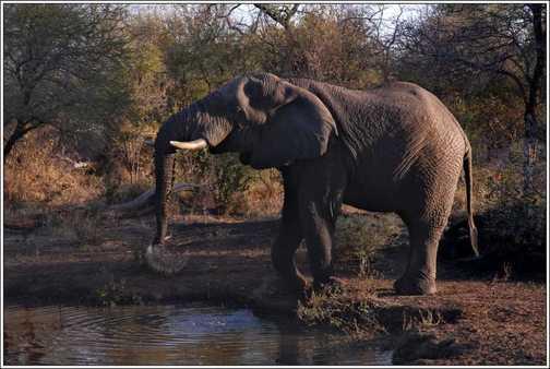 Bull Elephant - Edeni