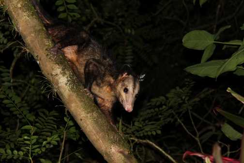 common opossum outside my front door in Tortuguero NP