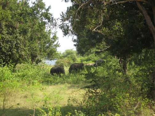 Wild elephants @ Yala National Park