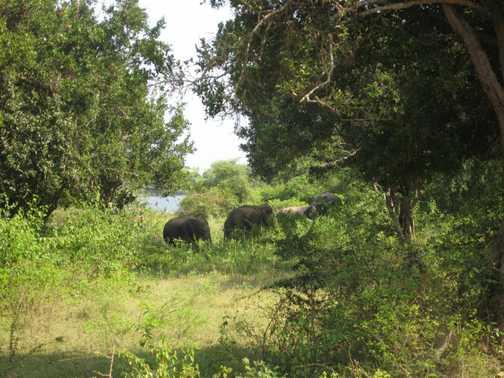 Wild elephants @ Yala National Park