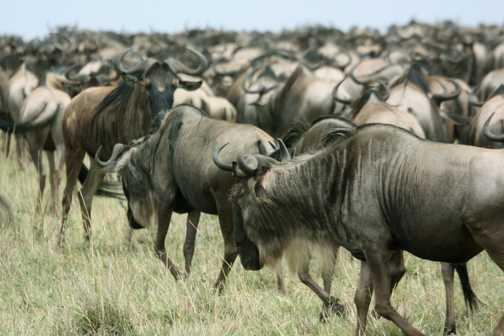 Wildebeest - Masai Mara