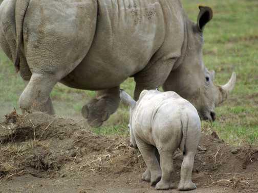 White Rhino, Nakuru National Park, Kenya