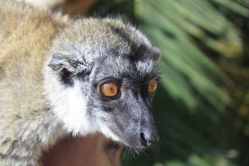 Lemur - Cango Wildlife Park