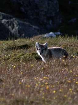 This cute Arctic fox cub rounds off my wildlife photography at the final landing at Alkhornet.