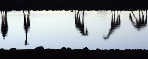 Giraffe reflections at Okaukoejo waiting