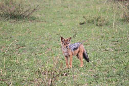 Juvenile Jackal - Masai Mara