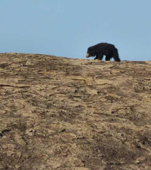 Sloth Bear 3