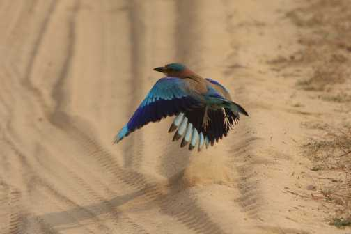 Indian roller makes a careful landing