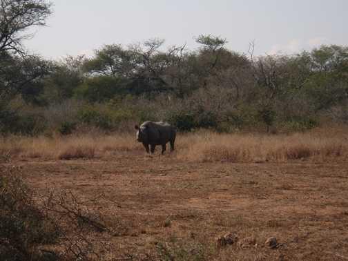 Black Rhino - Kruger