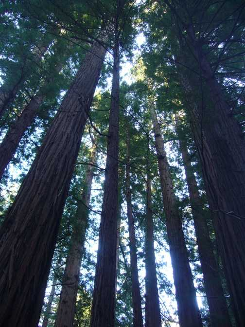 Redwoods at Muir Woods