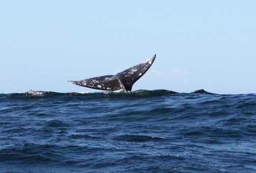 Grey whale fin