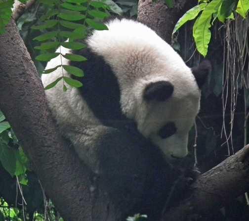 sleeping panda Chengdu