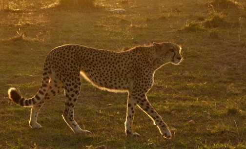 Cheetah female at sunset