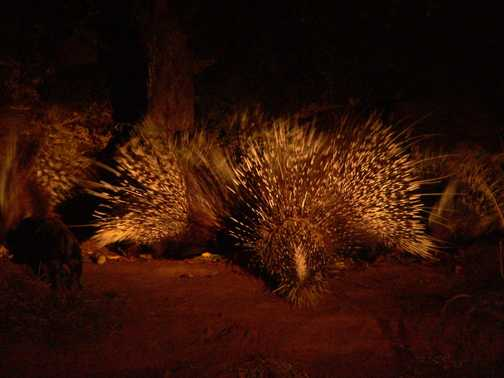 Hide view of Honey Badger and Porcupines