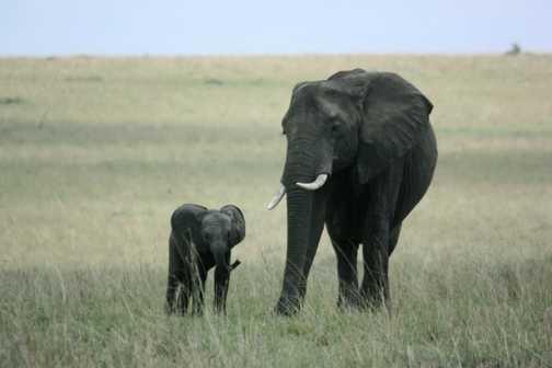 Elephant cow and calf - Masai Mara